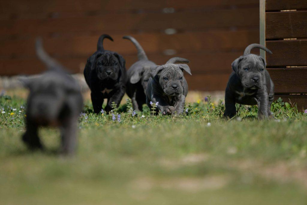 Donde comprar cane corso en Aragon y cachorros de cane corso en Zaragoza1