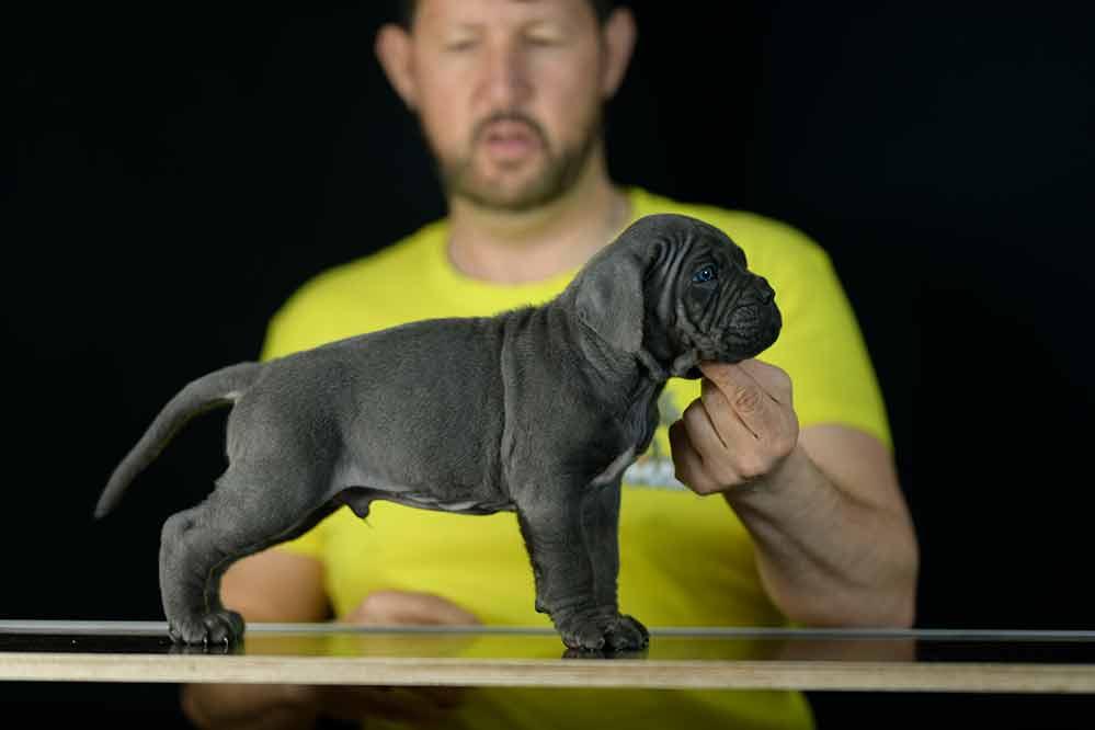 Donde comprar cane corso en Leon y criadores de cane corso en Castilla Leon