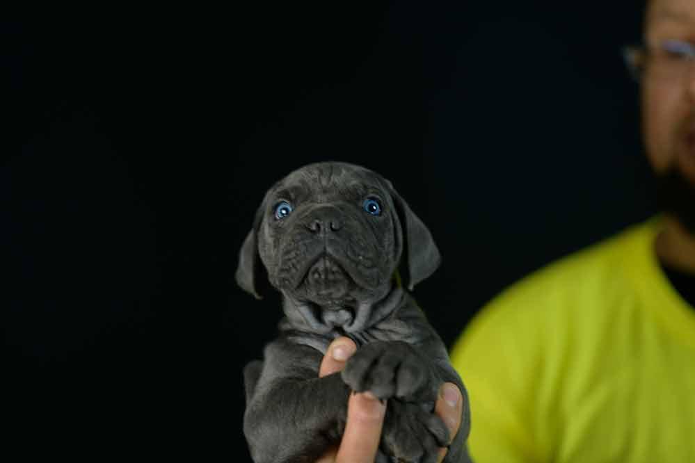 Donde comprar cane corso en Leon y criadores de cane corso en Castilla Leon1