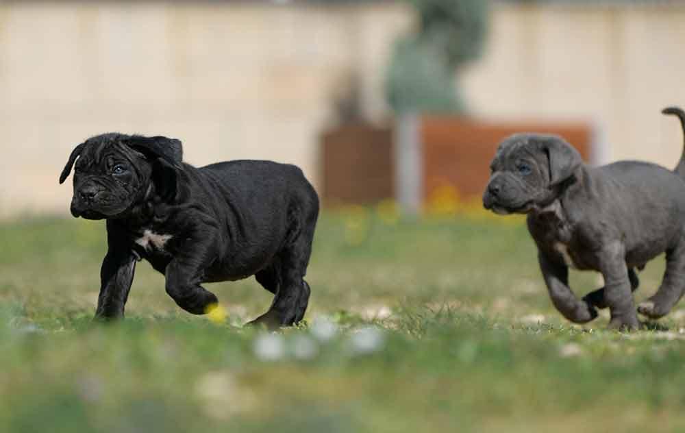 Donde comprar cane corso en palma mallorca Y Criadores de cachorros de cane corso en Las Islas Baleares