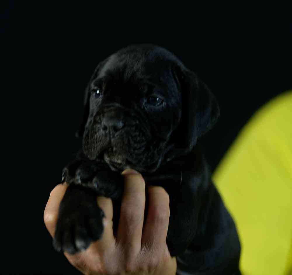 Donde comprar cane corso en salamanca y criadores de cane corso en Castilla y Leon