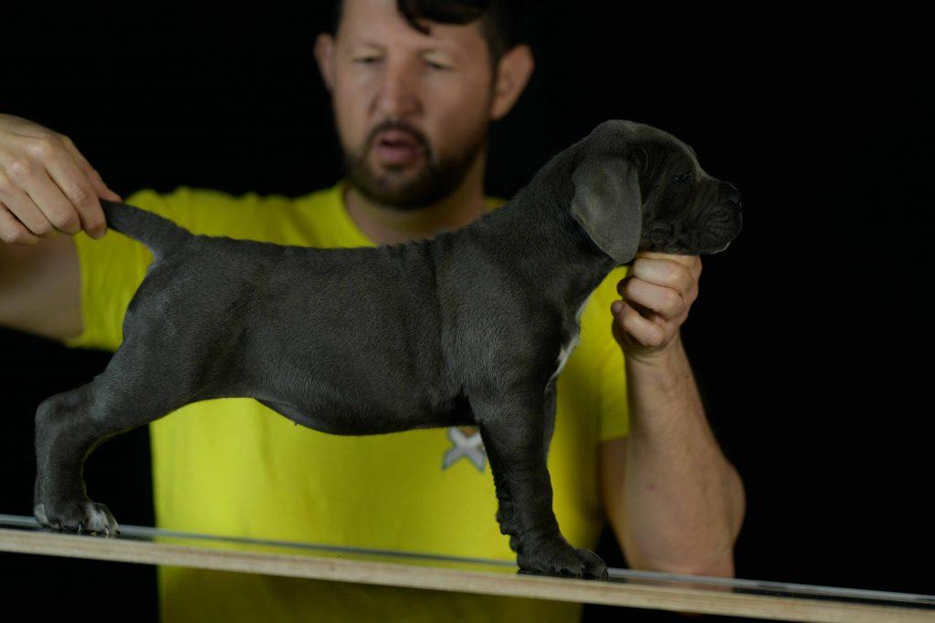 Donde comprar cane corso en salamanca y criadores de cane corso en Castilla y Leon1