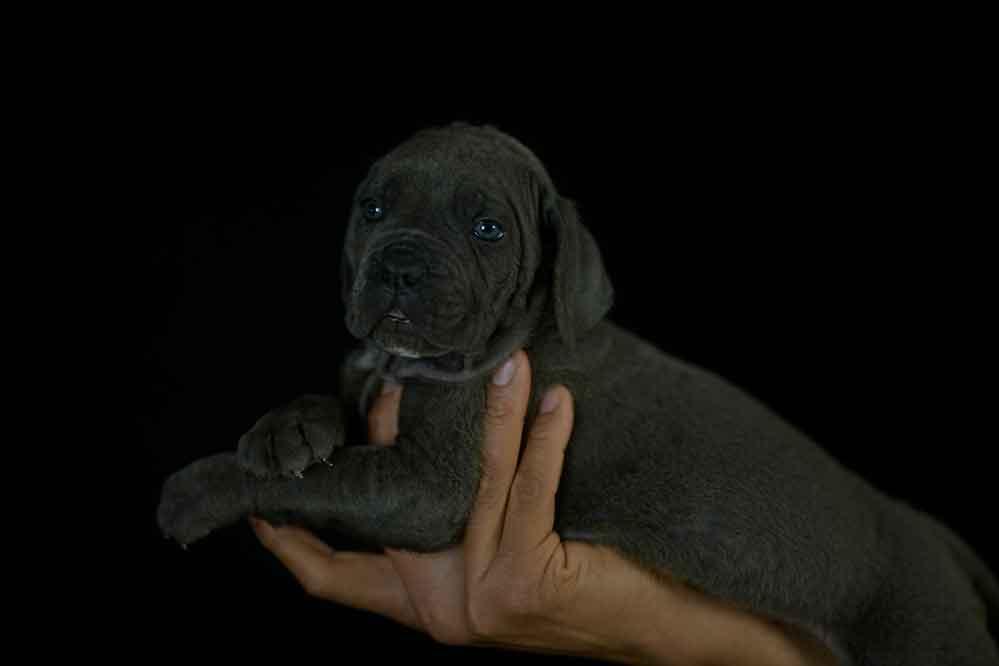 Donde comprar los mejores cachorros de cane corso del mundo y Venta de cachorros de cane corso Italiano