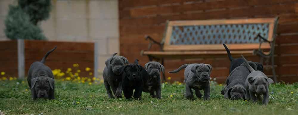 Donde comprar los mejores cachorros de cane corso en Malaga Y Venta de cachorros de cane corso italiano en Marbella