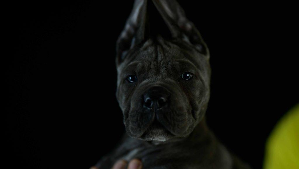 Donde comprar los mejores cachorros de cane corso en Malaga Y Venta de cachorros de cane corso italiano en Marbella1