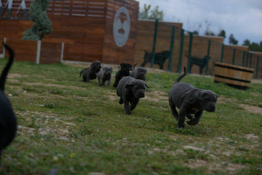 Donde comprar perro cane corso Italiano en Caracas y Venta de cachorro de canecorso en Venezuela1