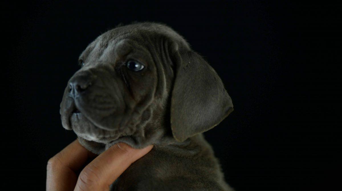 Donde comprar perro cane corso en Lima Y Criadores de cane corso en Peru