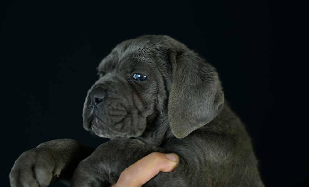 Donde comprar perro cane corso en Roquetas de mar y venta de cachorros de mastin italiano en Almeria