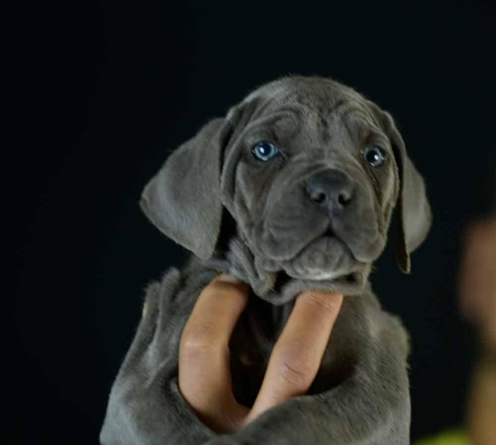 Donde comprar perro cane corso italiano en Benidorm y criadores de cane corso en Alicante1