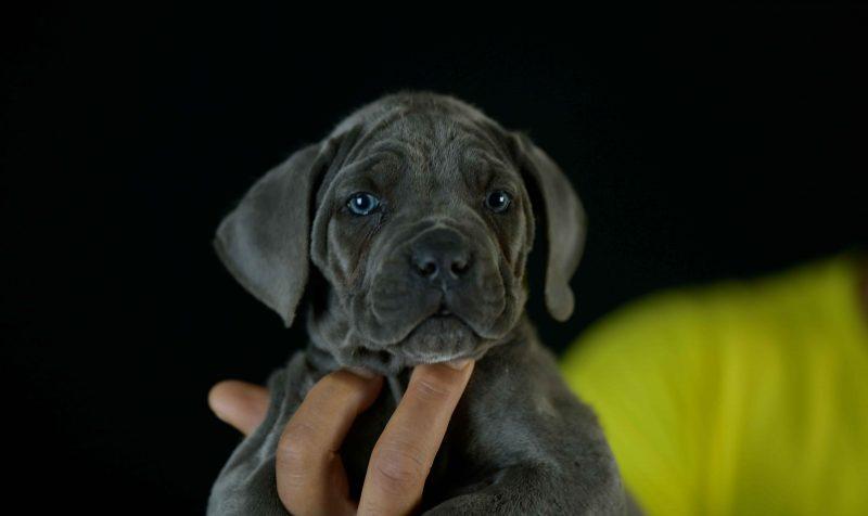 Donde comprar perro cane corso italiano en Calp y Venta de cachorros de canecorso en Alicante