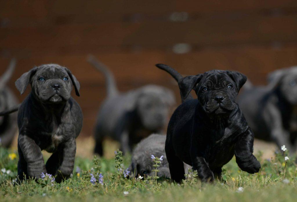 Donde comprar un cane corso en Granada Y criadores de cane corso italiano en Sierra Nevada1