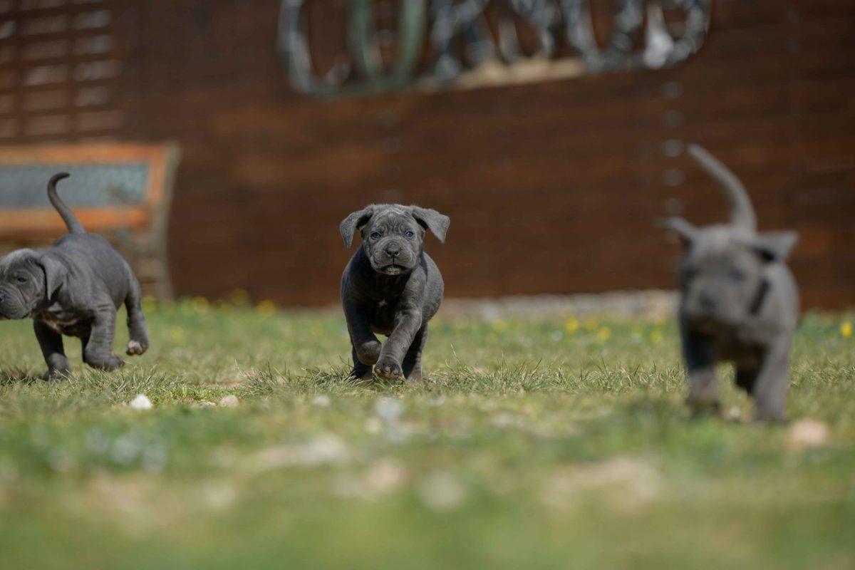 Donde comprar un perro cane corso en Orihuela Y Criadores de canecorso Italiano en Alicante