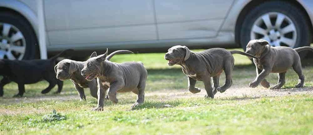 WHERE BUY DOG CANE CORSO IN ROCHESTER-NJ AND FOR SALE ITALIAN MASTIFF PUPPIES