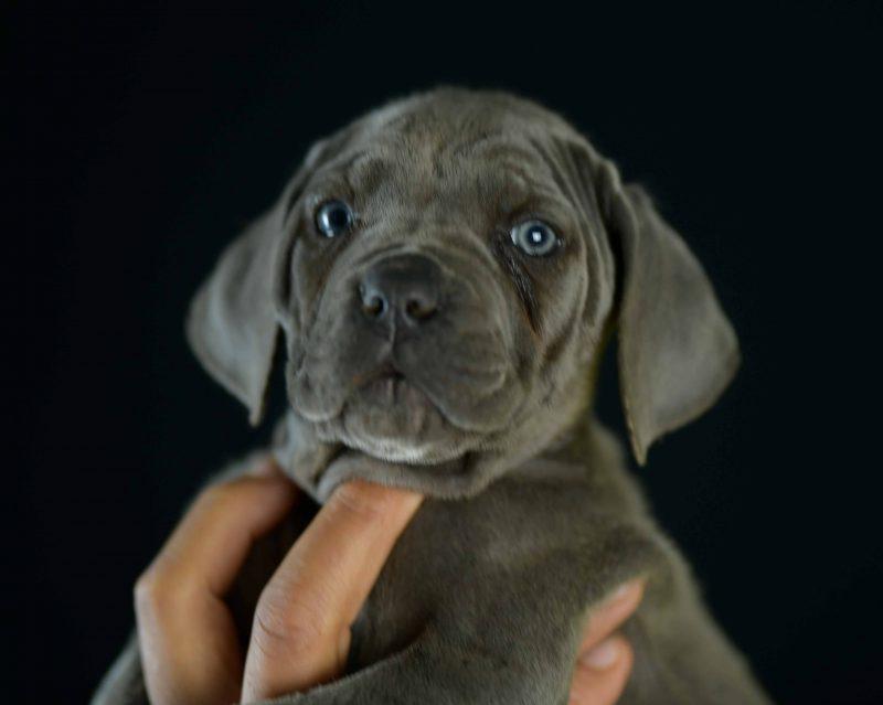Where buy cane corso in Cape Coral and For sale italian mastiff puppies in Florida