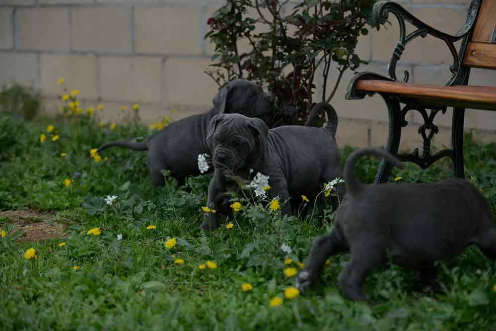 Where buy cane corso in Modesto and italian mastiff for sale in California1