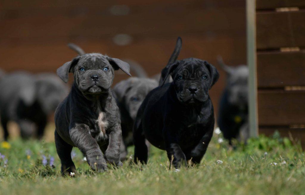 Where buy cane corso in Tempe and for sale italian mastiff puppies in Arizona1