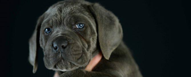 Where buy cane corso puppies in Cincinnati and breeders of cane corso in Ohio