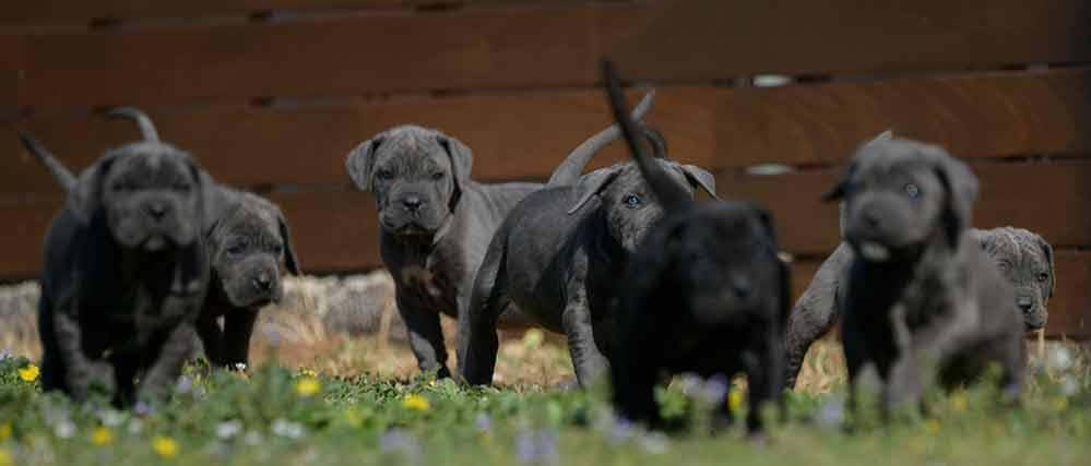 Where buy cane corso puppies in Reno and for sale italian mastiff puppies in Nevada