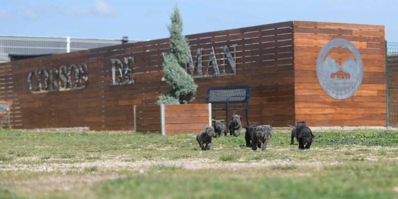 Where buy cane corsos in Aurora and cane corso puppies for sale in Colorado