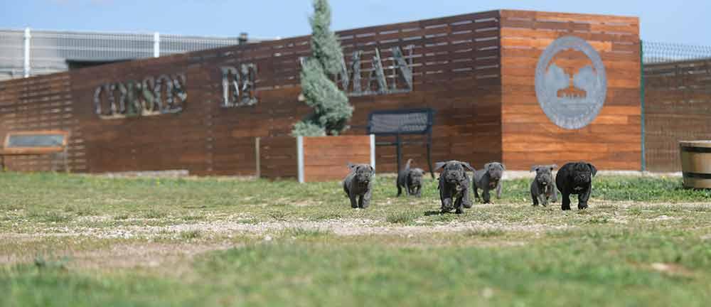 Where buy dog cane corso in Springfield and Italian mastiff puppies for sale in Illinois