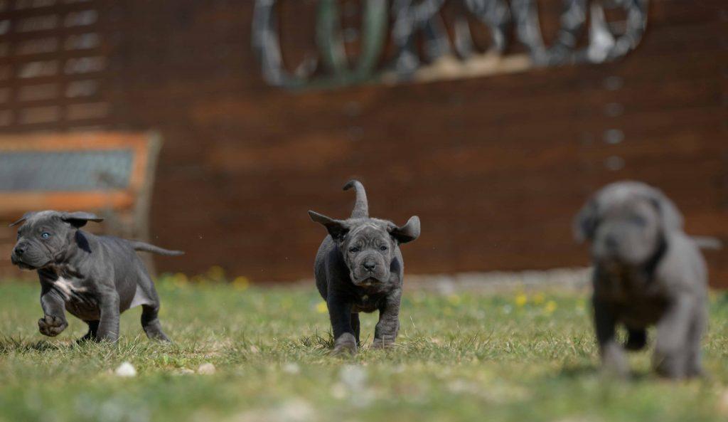 Where buy dog cane corso in Springfield and Italian mastiff puppies for sale in Illinois1