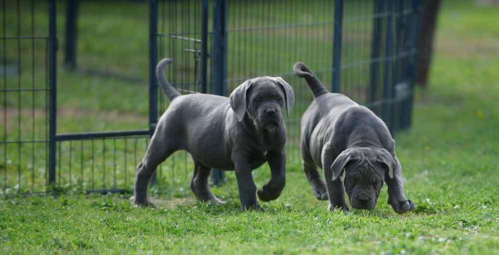 Where buy dog cane corso puppies in Grand Rapids And For sale Italian mastiff puppies in Michigan