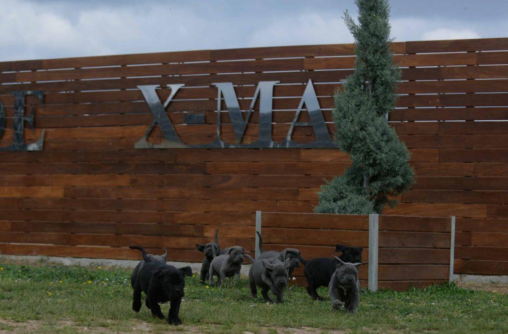 buy cane corso in Plano Tx and breeders of cane corso in Texas1