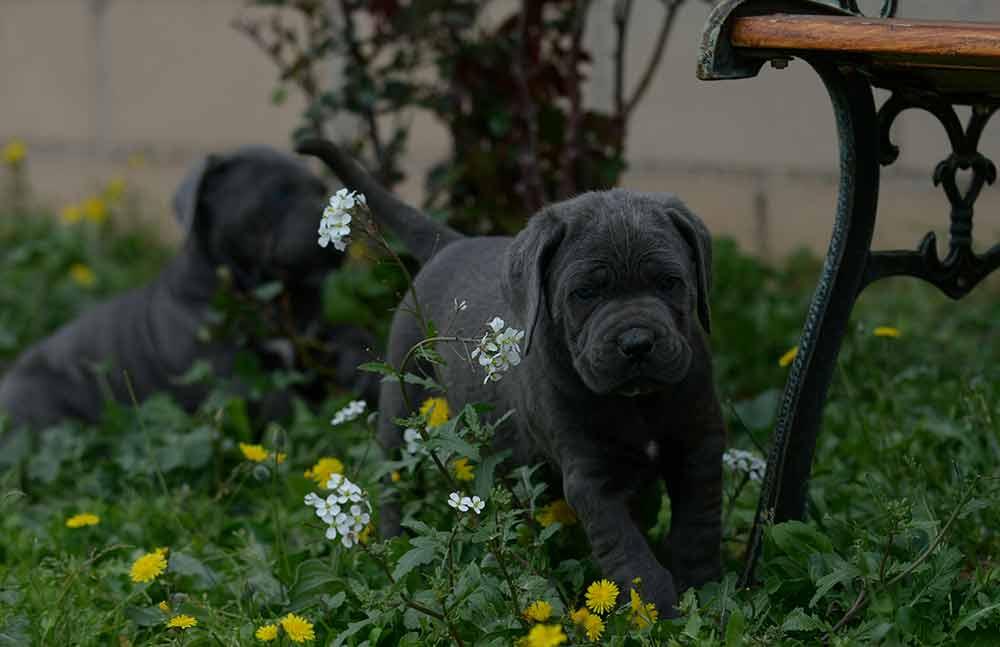 buy cane corso puppies in Buffalo and breeders of italian mastiff in New York1