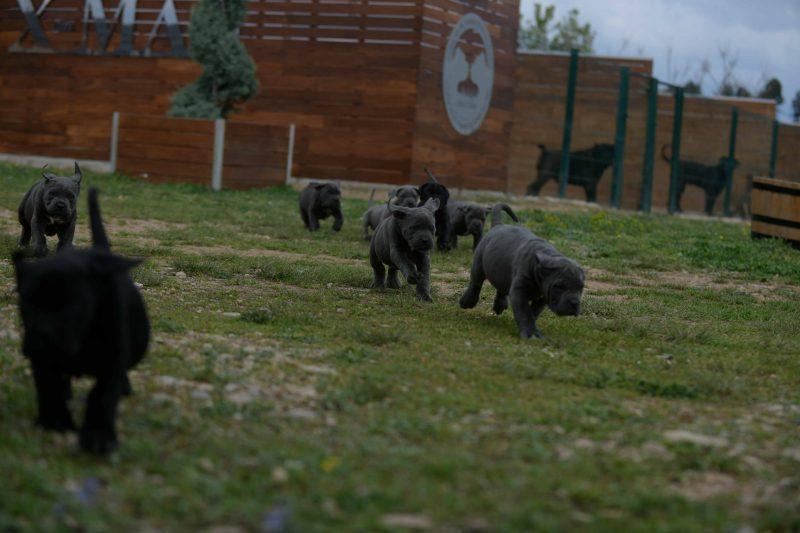 buy cane corso puppies in Oxnard CA and for sale italian mastiff puppies