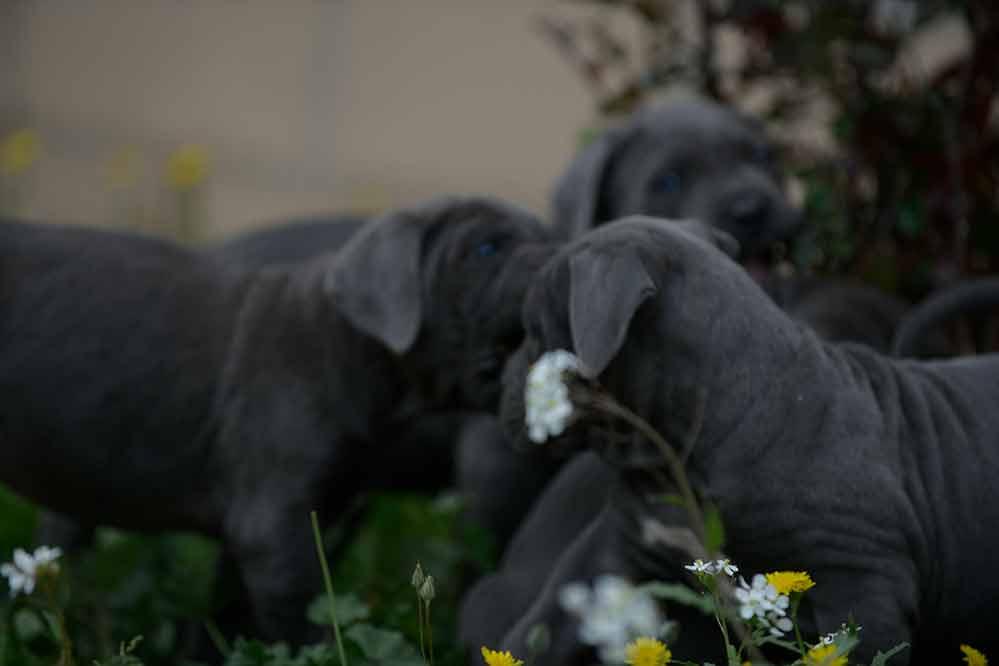buy cane corso puppies in Oxnard CA and for sale italian mastiff puppies1
