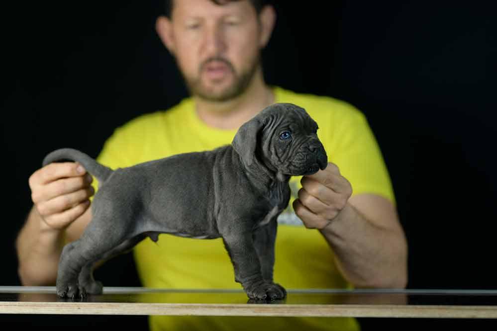 buy cane corso puppies in lancaster and breeders of italian mastiff in Pensilvania