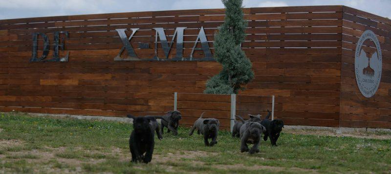 buy cane corso puppies in san bernardino and breeders of italian mastiff in California
