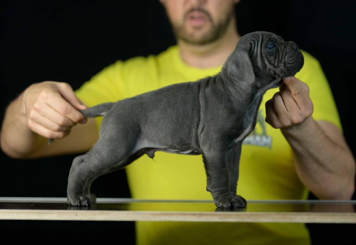 comprar cachorros de cane corso en Orense y Criadores de cane corso en Galicia
