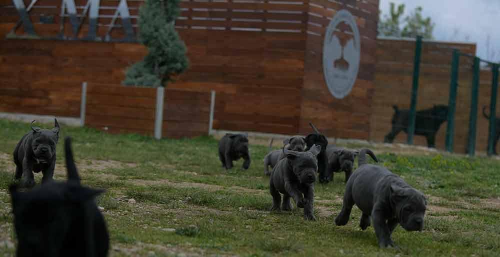 comprar cachorros de cane corso en Orense y Criadores de cane corso en Galicia1