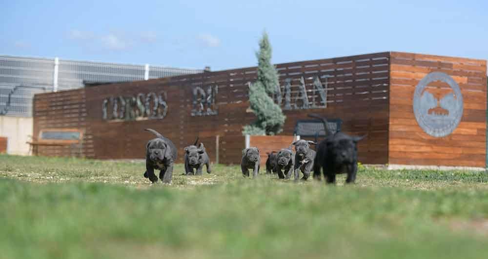 comprar cachorros de cane corso en Pontevedra y Criadores de cane corso en Galicia