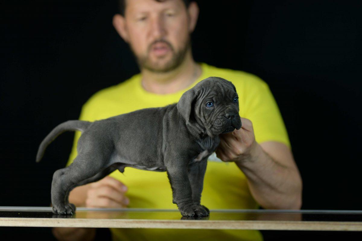comprar perro cane corso en Ronda y venta de cachorros de mastin italiano en Malaga Andalucia