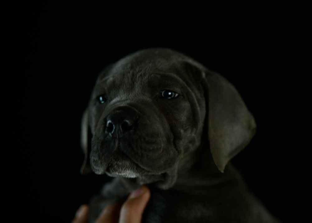 comprar perro cane corso italiano en altea y criadores de cane corso en Alicante1
