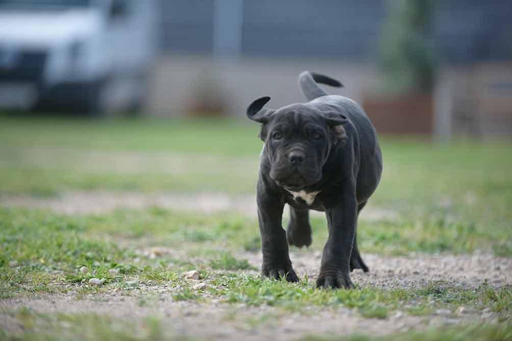 comprar-perro-cane-corso-italiano-en-torremolinos-y-venta-de-cachorros-de-canecorso-en-malaga