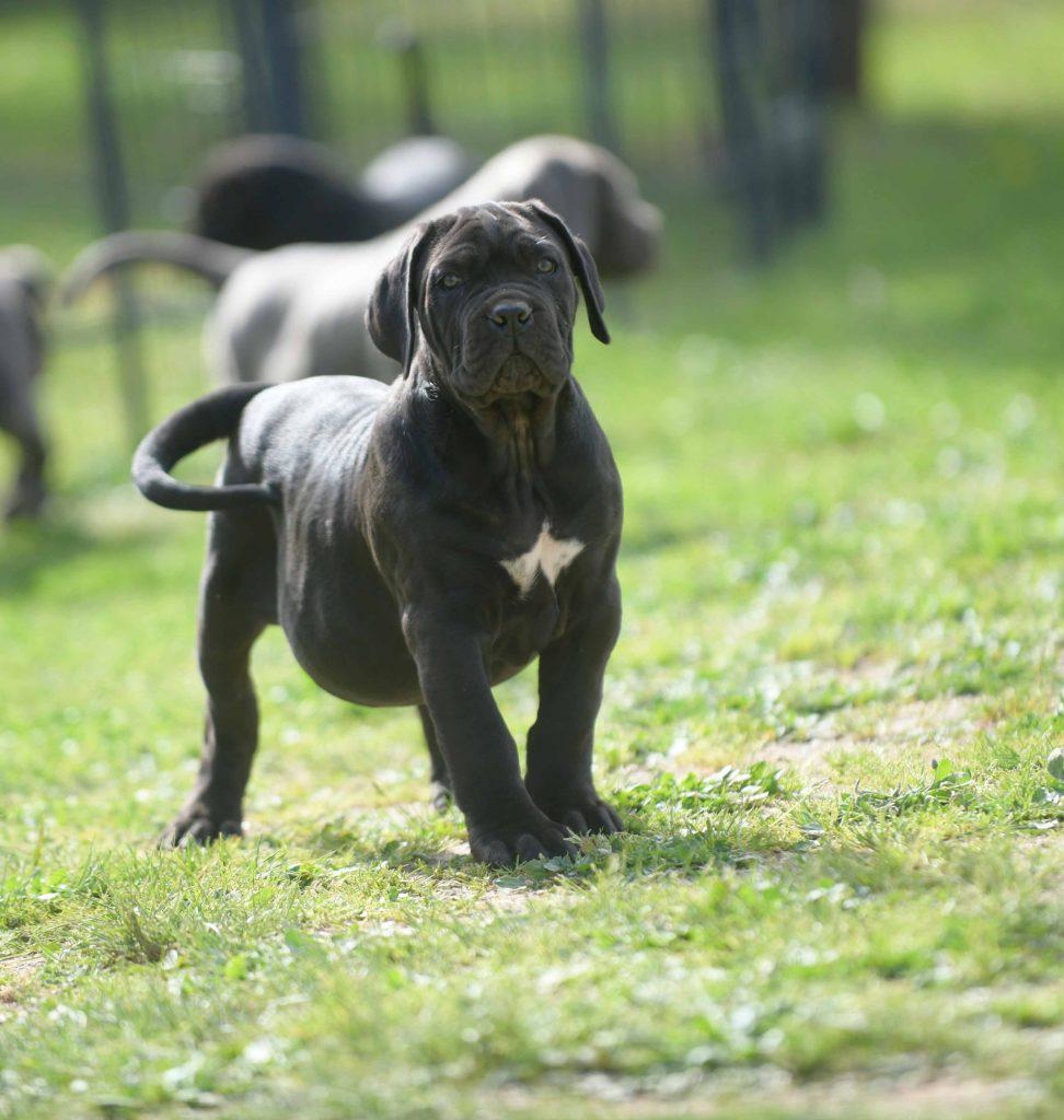 donde comprar cachorros de perro cane corso en Mahón, Menorca, Islas Baleares