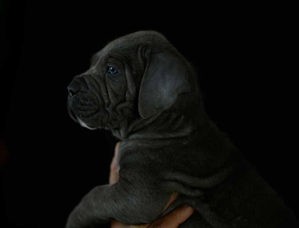 donde comprar cachorros de perro cane corso en Mahón, Menorca, Islas Baleares1