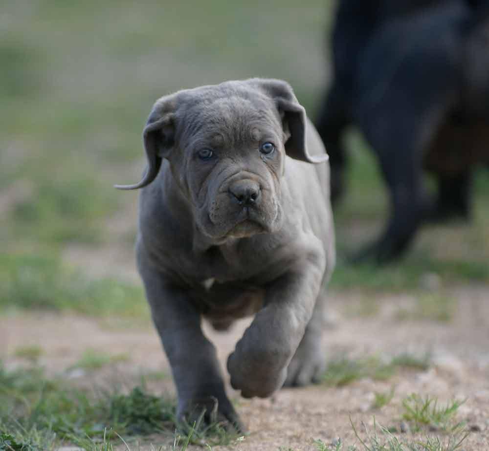 donde comprar perro cane corso en Altea y criadores de canecorso en Alicante