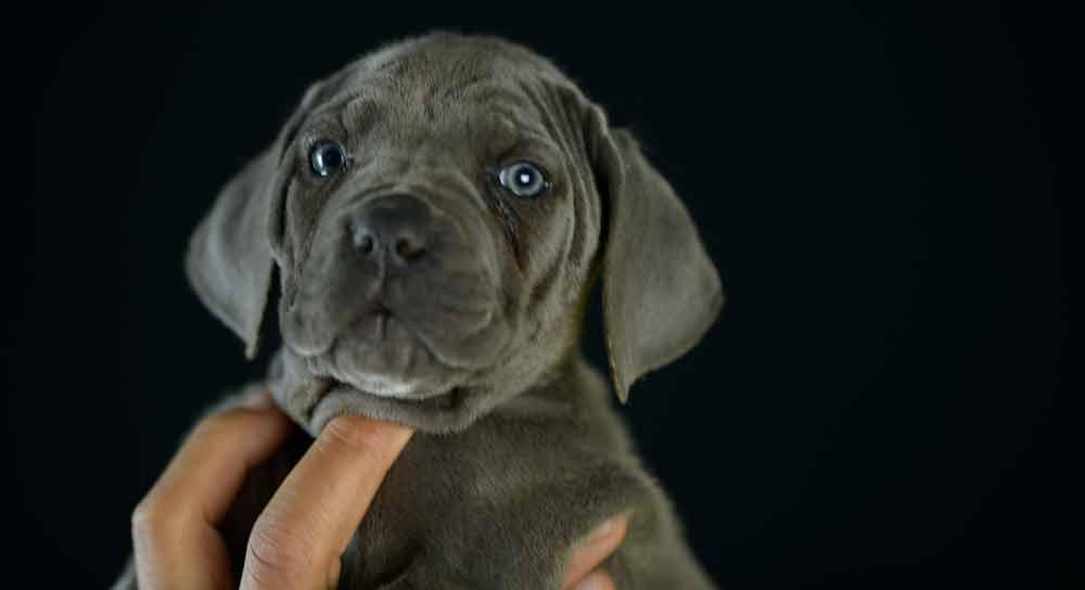 donde comprar perro cane corso italiano en Manilva y cachorros de canecorso en Malaga