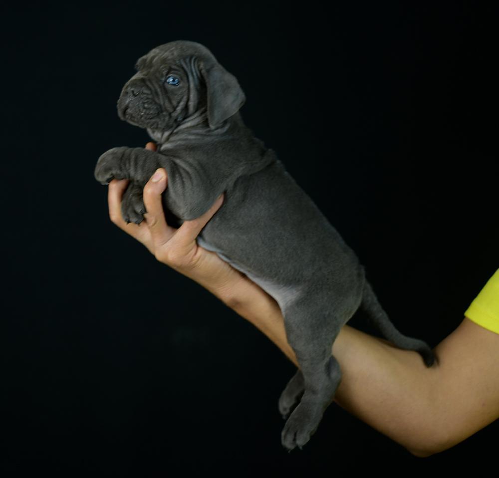 el Covid-19 perro Cane Corso