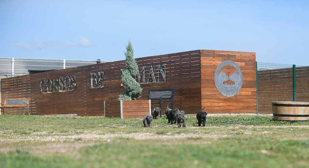 where buy cane corso puppies in alexandria and breeders of canecorso in Virginia