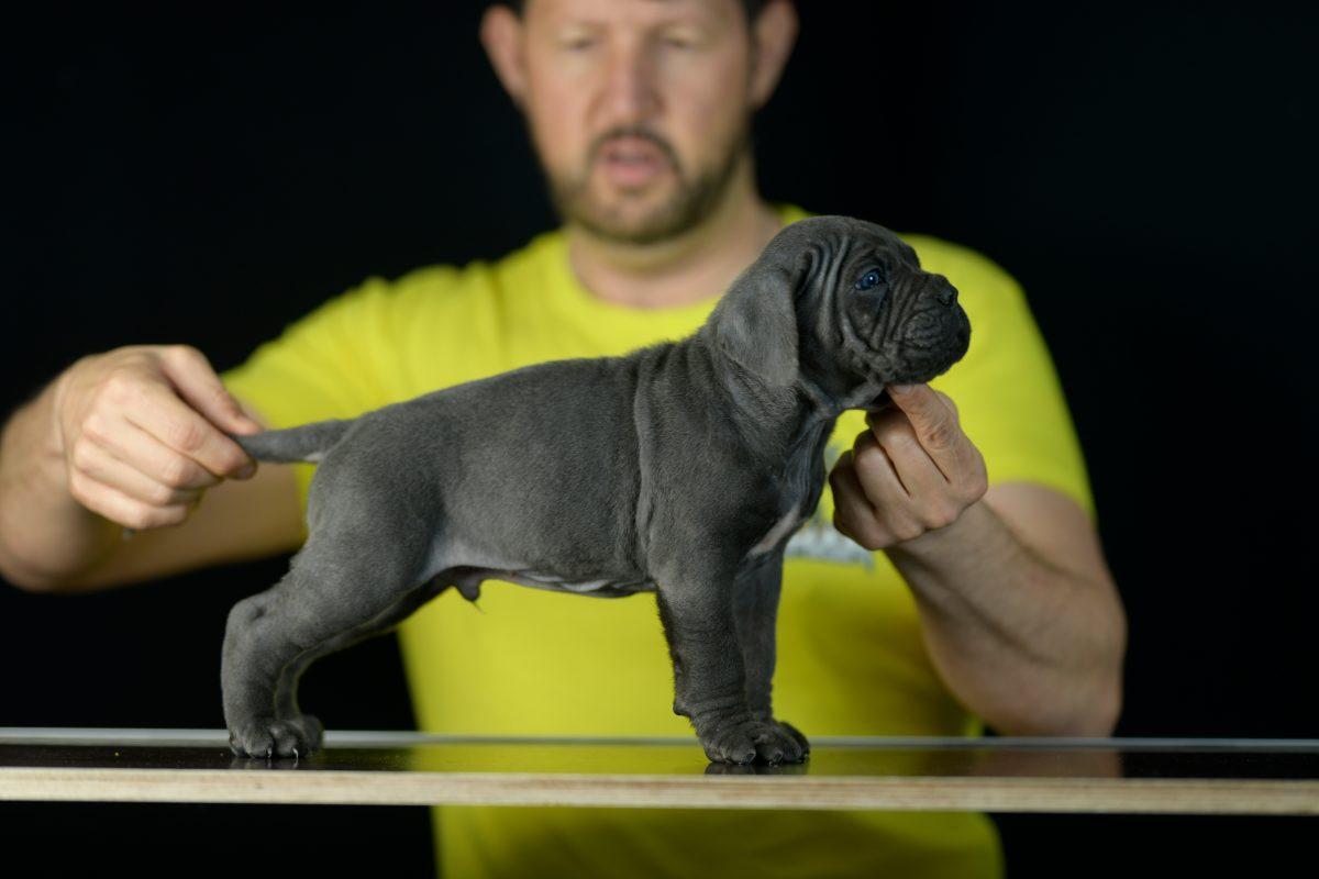 where buy cane corso puppies in jackson and breeders of italian mastiff in Misisipi