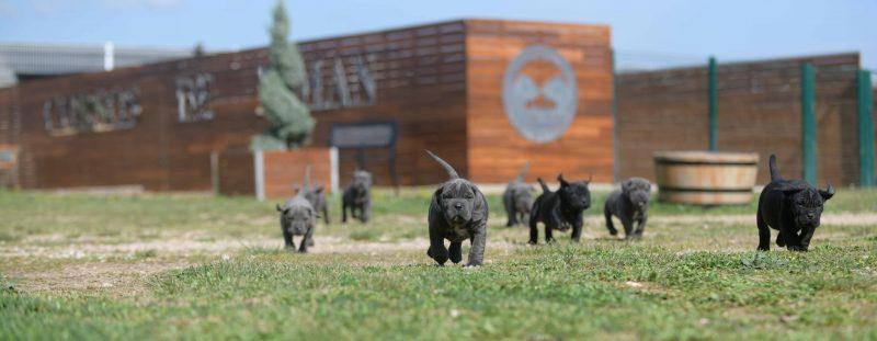 where buy canecorsos in Norfolk and breeders of italian mastiff in Uk England