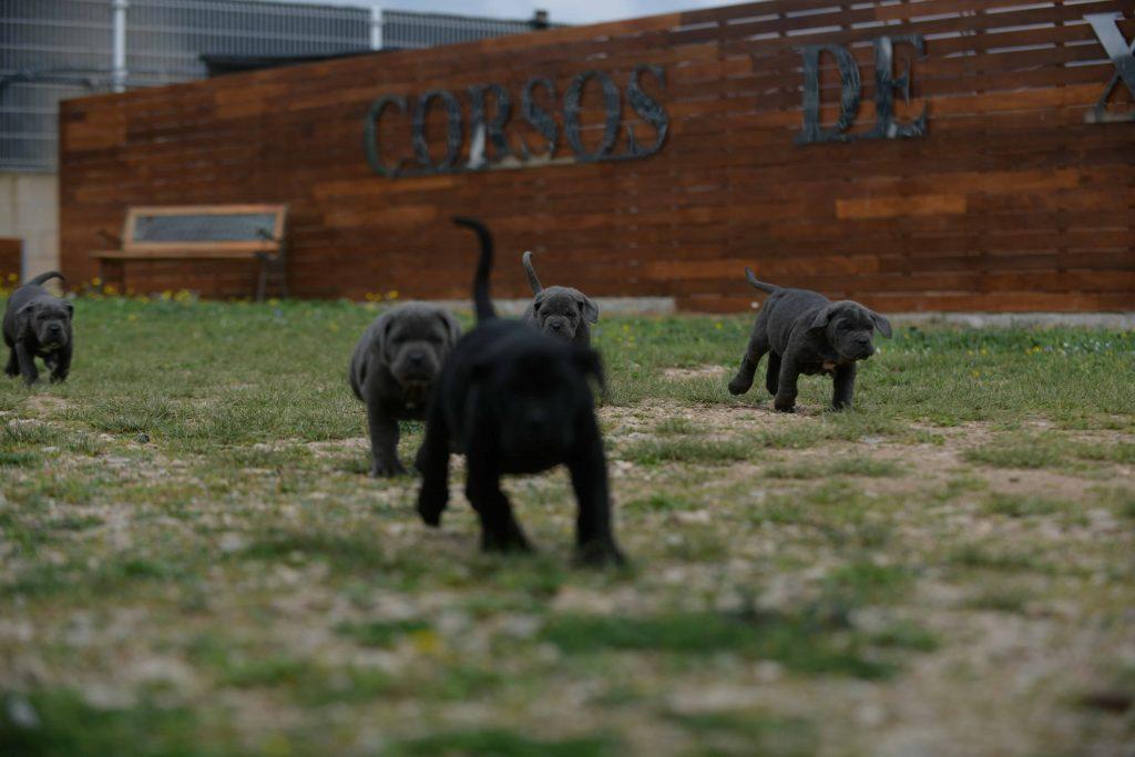 where buy dog cane corso in Garland and breeders of italian mastiff in Texas1