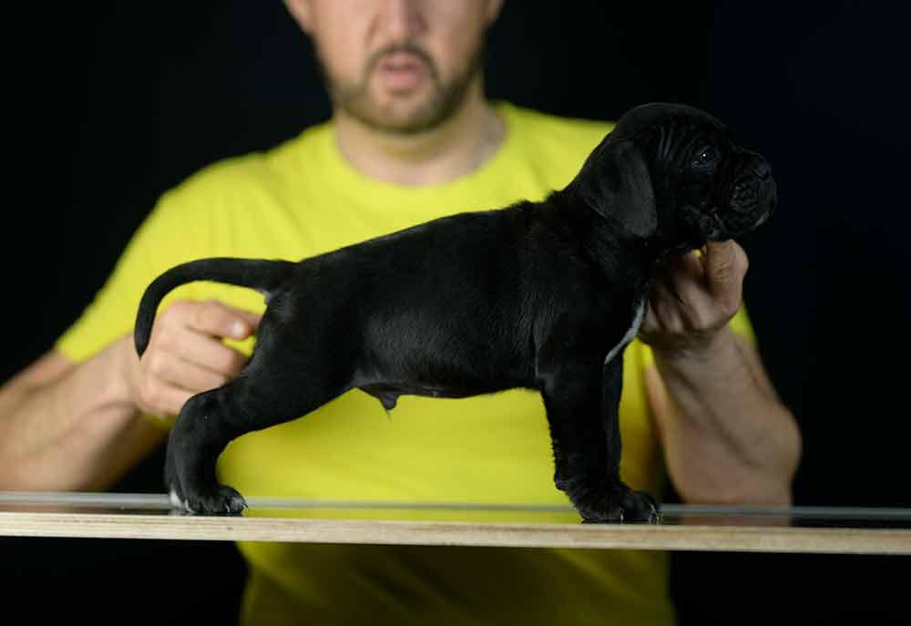 where buy dog cane corso in Tempe and breeders of italian mastiff in Arizona