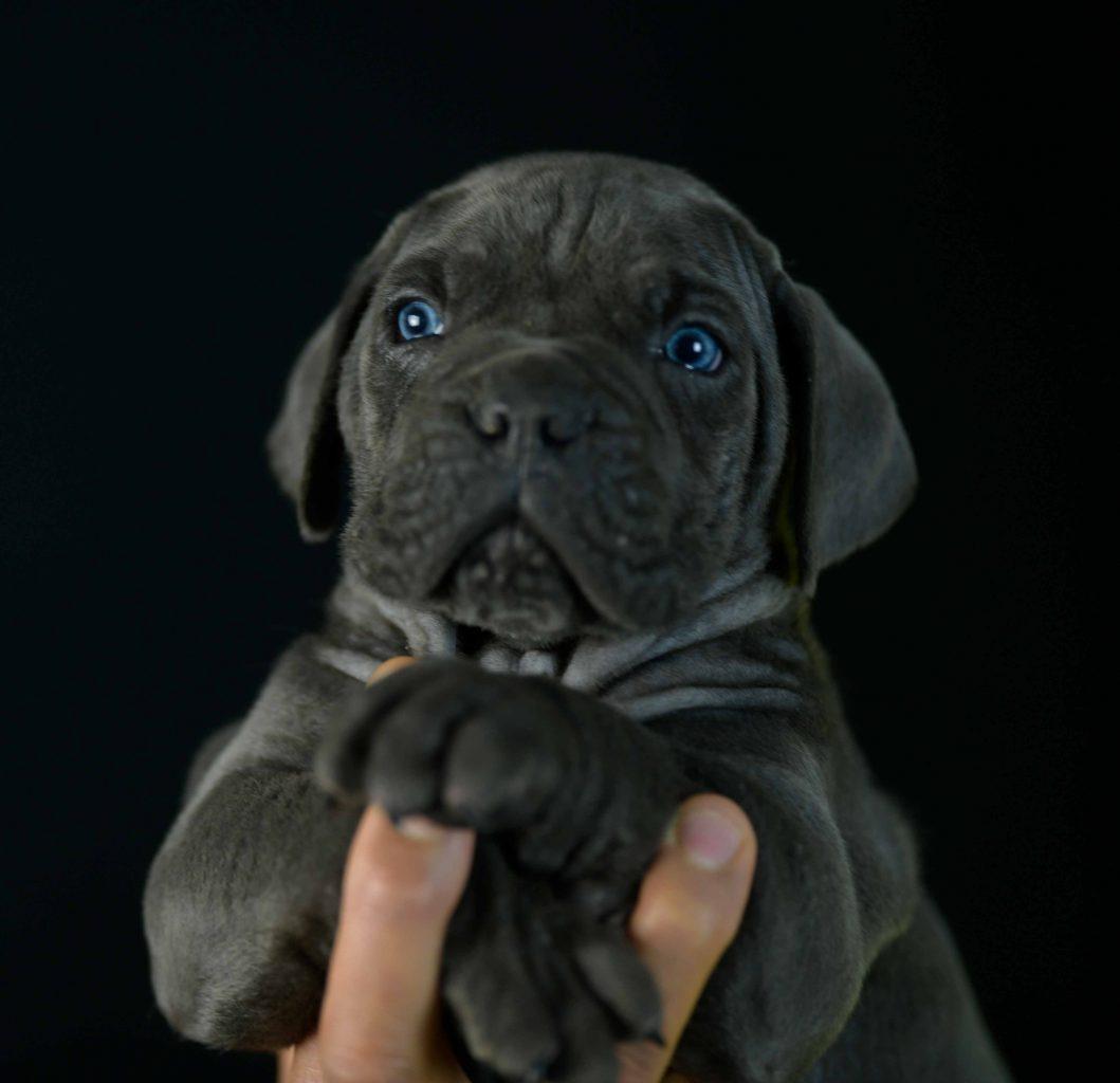 where buy dog canecorso in Elk Grove and for sale italian mastiff puppies in California