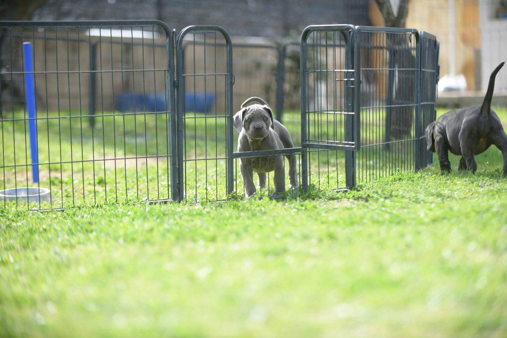 where buy dog italian cane corso in Baton rouge and breeders of Italian Mastiff in Louisiana1